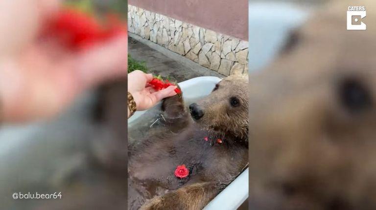 Balu, un oso ruso que vivía en un zoológico, disfruta ahora de los pequeños placeres de la vida.