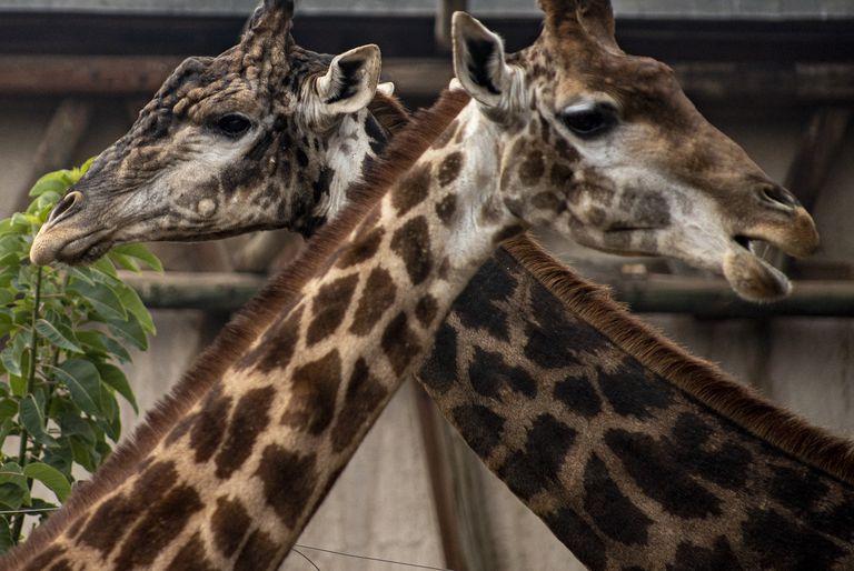 El curioso método de las jirafas para garantizar su supervivencia