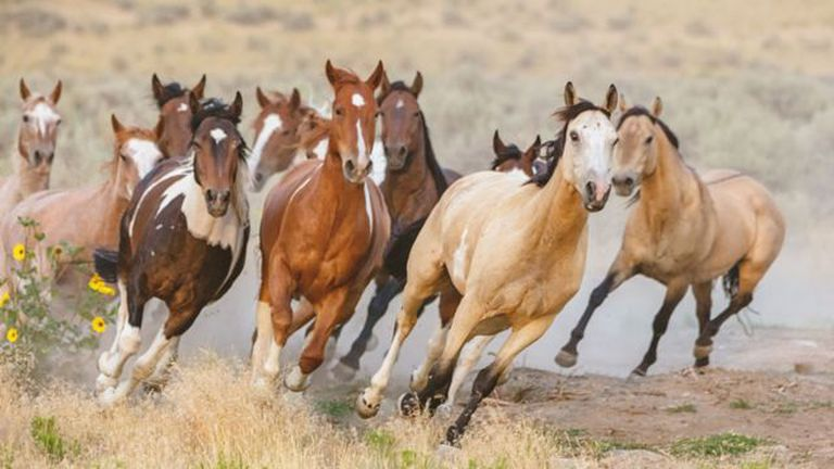 Los caballos capturados son llevados a corrales y pasturas antes de ser ofrecidos en adopción al público
