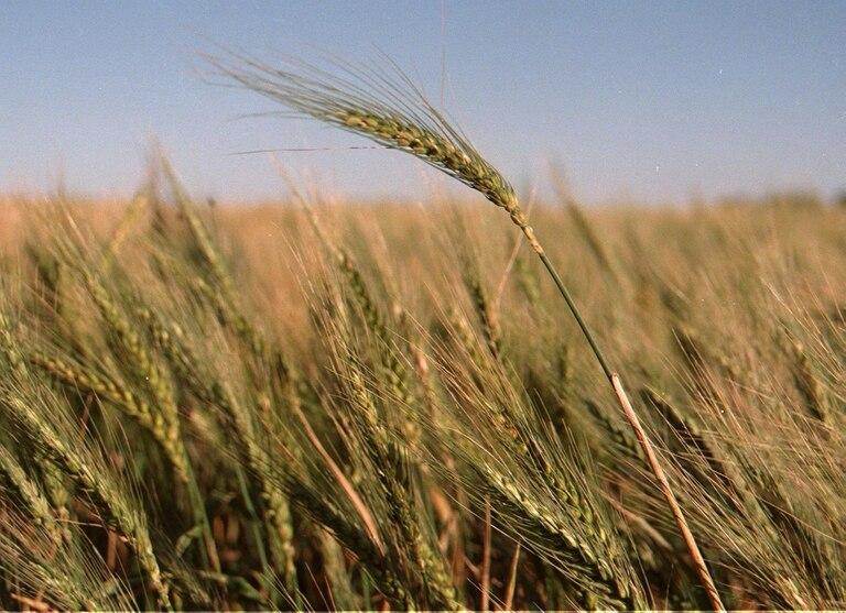 La provincia de Buenos Aires concentra el 97% de a producción de cebada