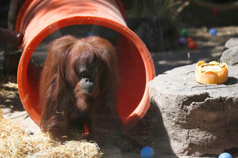 La orangutana Sandra será trasladada mañana del Ecoparque a un santuario en Estados Unidos