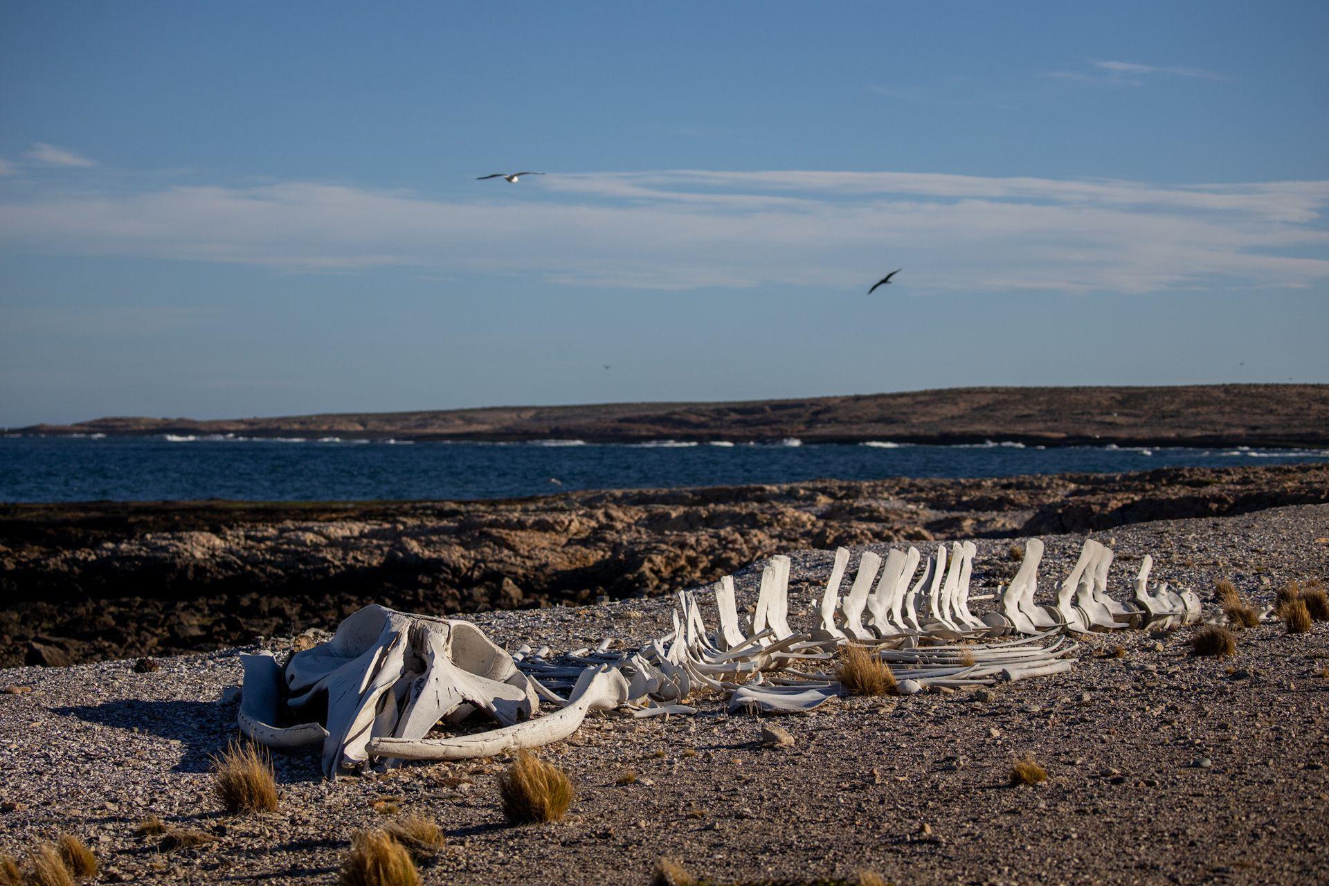 Esqueleto de una ballena en Bahia Bustamante