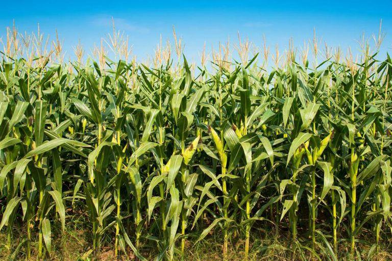 El precio del maíz en alza por cuarta rueda seguida en la Bolsa de Chicago