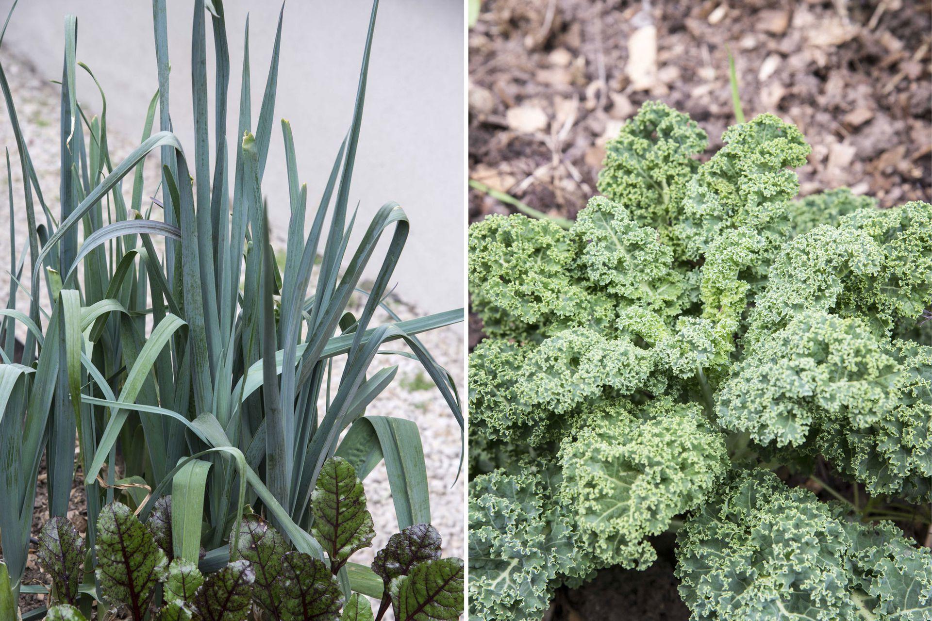 Puerro y kale. Ambos admiten varias formas de usarlos y prepararlos.