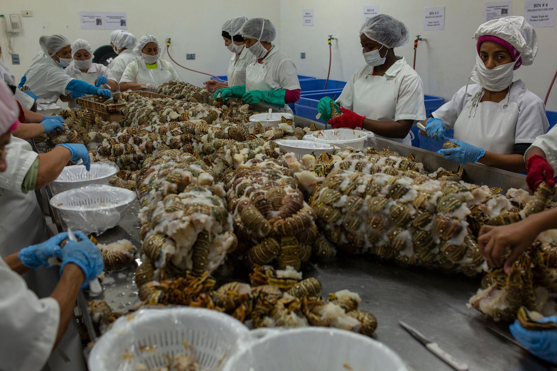 Trabajadoras procesan las langostas en una planta de La Ceiba, Honduras