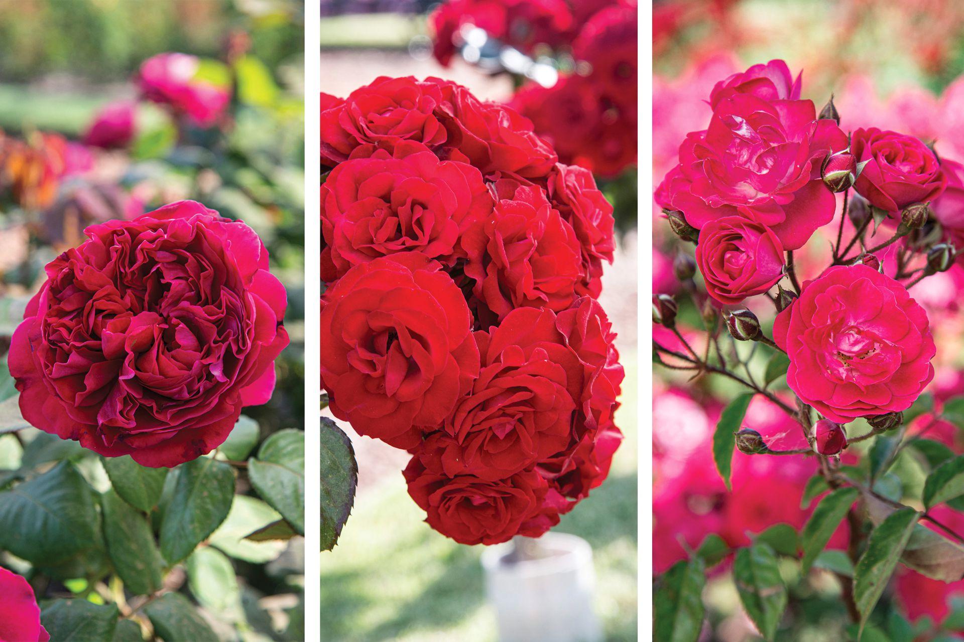 De izquierda a derecha, rosas 'Valentina Casucci', 'Europeana' y 'Nur Mahal'