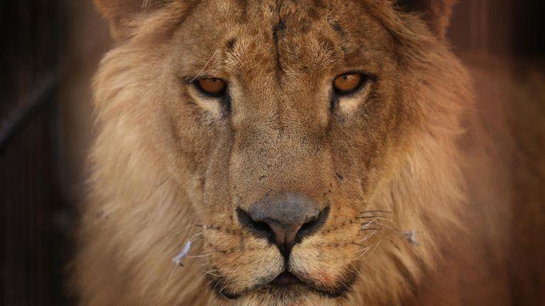 El león es un de las especies que puede desaparecer
