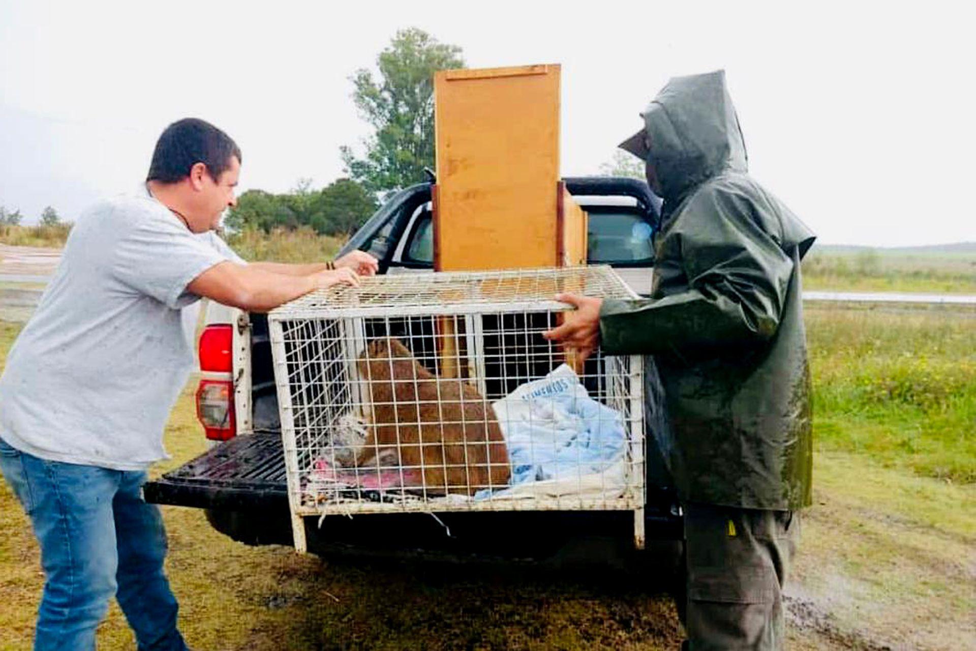 Personal de la reserva traslada a Shinshu, una carpincho rescatada de una quema