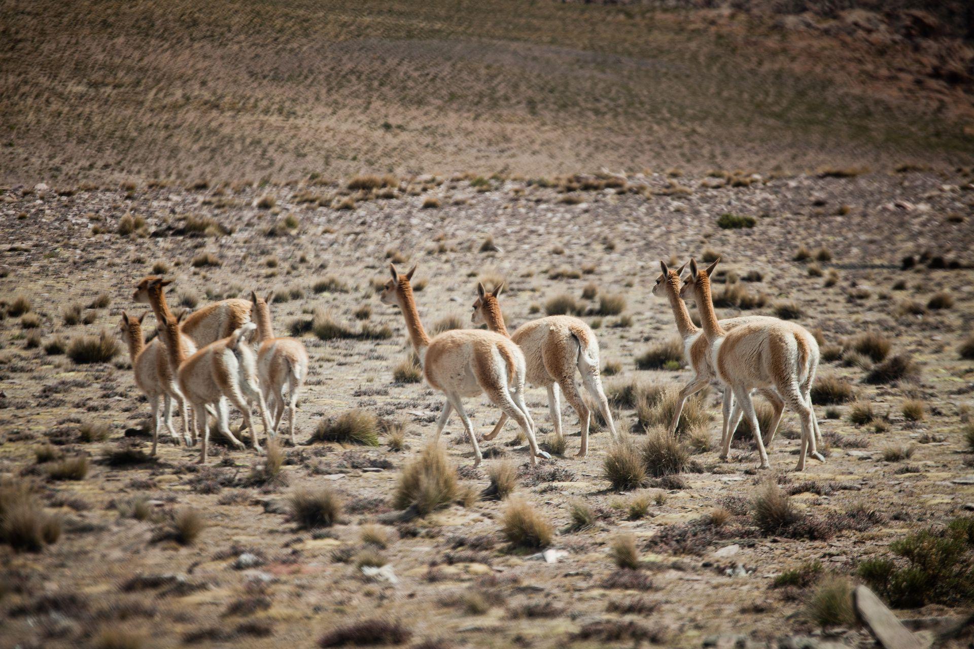 Las tropillas de vicuñas suelen desplazarse con mucha rapidez y aparecen como una ilusión óptica provocada por la altura.