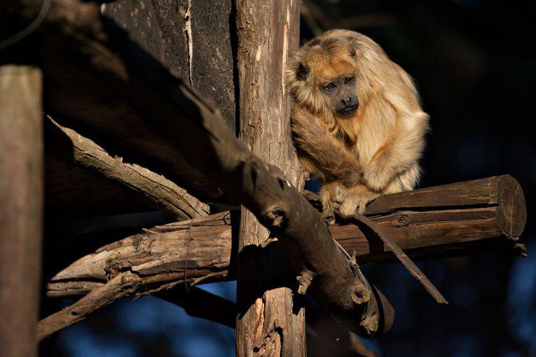 Los monos carayá de la reserva, amenazados por la crisis tras los incendios en Córdoba