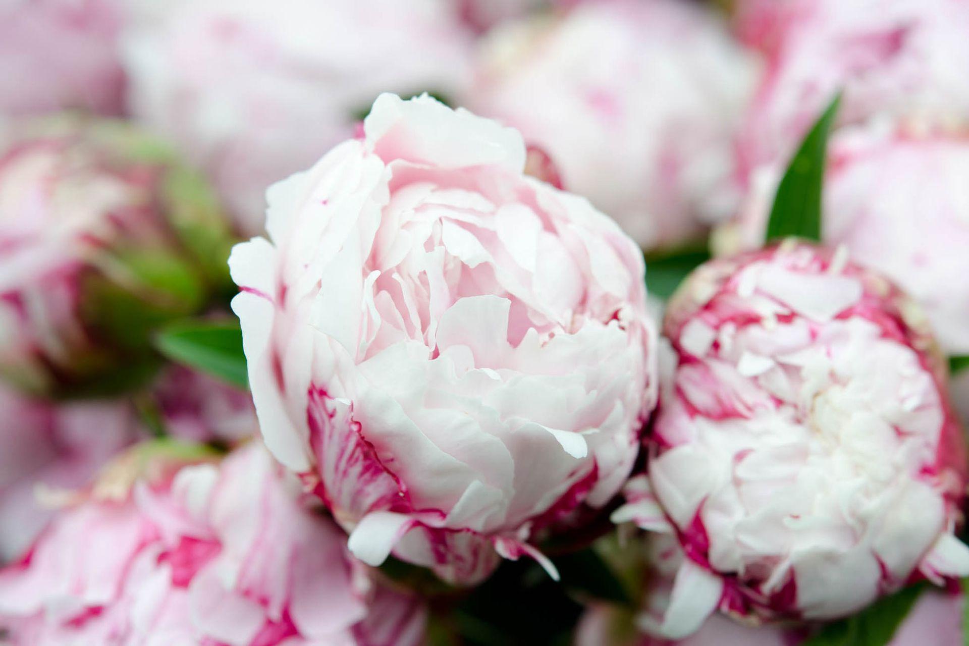 Las peonías pueden ser de color blanco, rosa, fucsia, púrpura y mixtas.