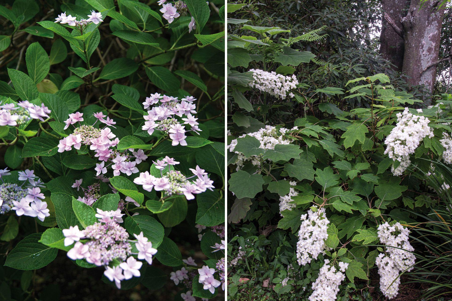 Las distintas hortensias también tienen un lugar entre sus plantas preferidas e integran una pequeña colección.