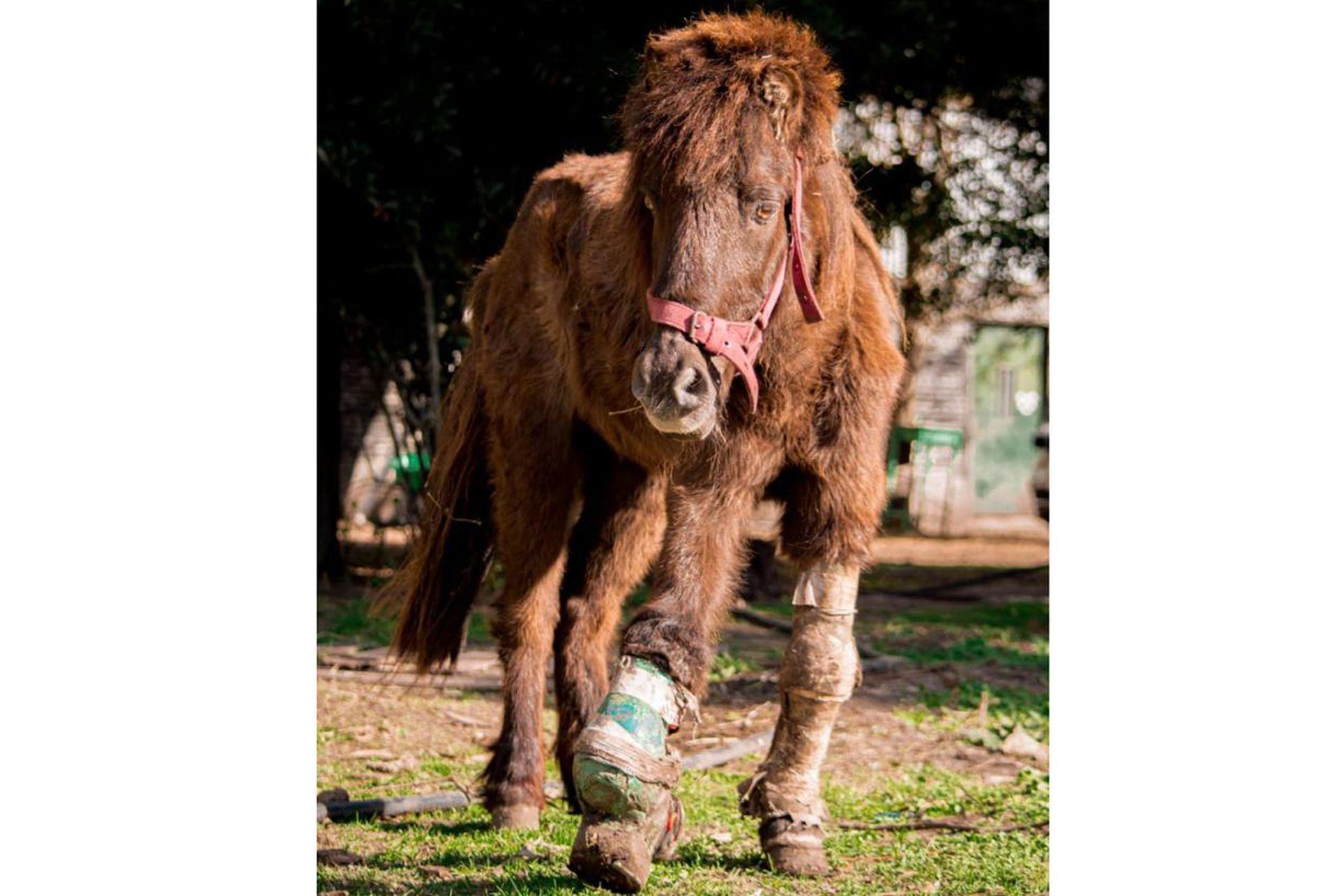 El pony Peregrino fue rescatado con una fractura mal fijada en su brazo derecho. Vive en el CRRE