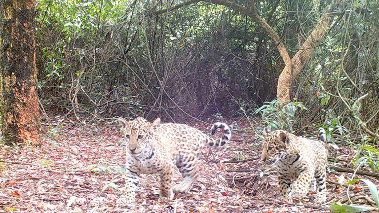 La liberación de estos tres ejemplares ocurre meses después de la suelta de Mariua -hermana de Juruna- y sus cachorros, Karai y Porã. Gentileza: Fundación Rewilding Argentina