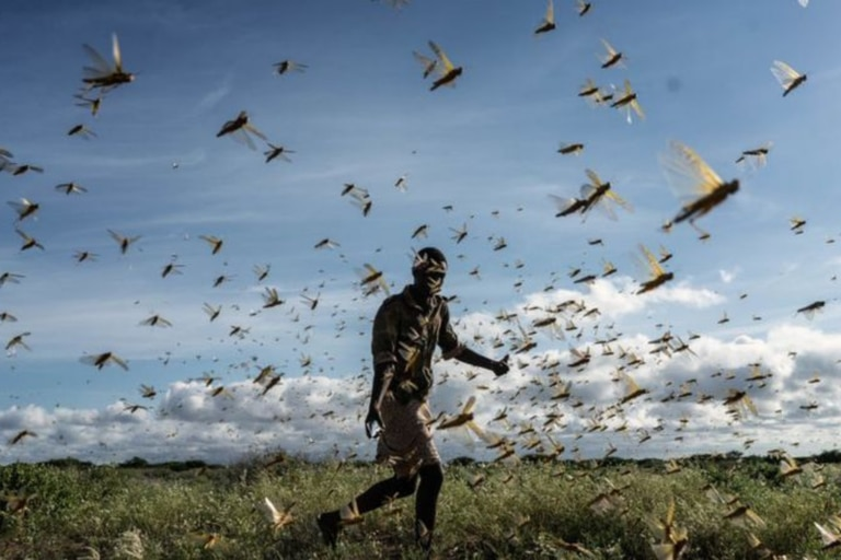 Una gran plaga de langostas del desierto apareció en África Oriental y Oriente Medio, amenazando la producción de alimentos y los medios de vida. Crédito: FREDRIK LERNERYD
