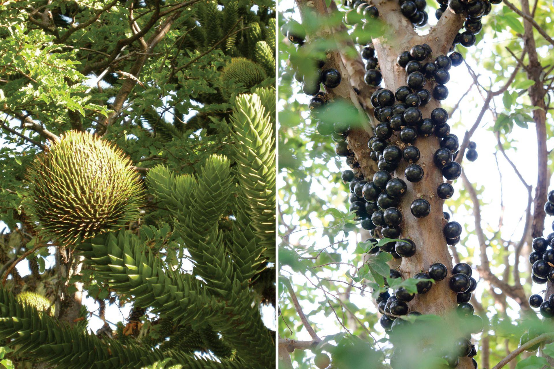 Pehuén (izquierda): su fruto encierra piñones con la que se elabora una sabrosa harina. Jaboticaba (derecha): sus frutos se consumen frescos y contienen muchas propiedades medicinales.