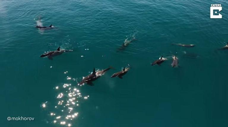 Graban el impresionante momento en el que un grupo de orcas se va de caza frente a la costa rusa de Kamchatka
