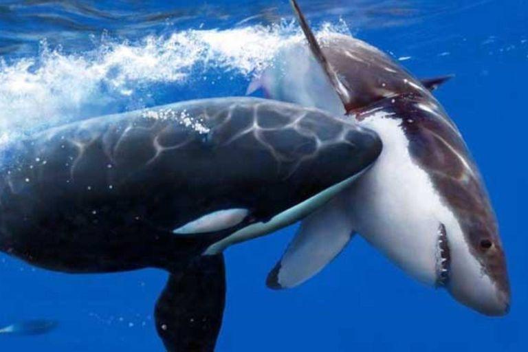 Un equipo de biólogos investiga la muerte de tiburones encontrados en las playas de Sudáfrica. Aparentemente, son atacados por orcas que rasgan sus cuerpos para extraer los órganos