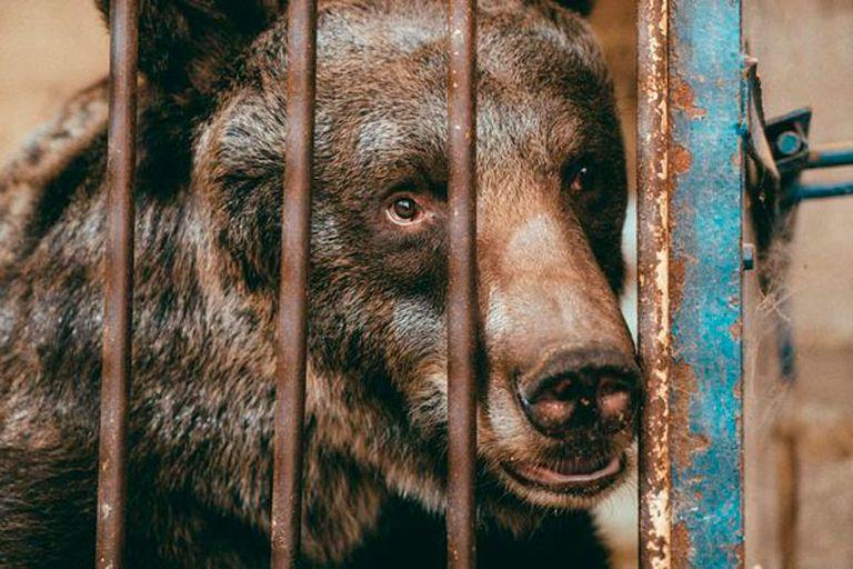 Nueva vida: rescatan a una osa que pasó 11 años encerrada en una pequeña jaula