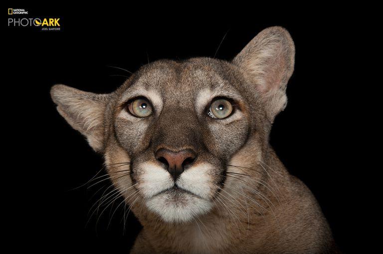 Una pantera de Florida (Puma concolor coryi), en el zoológico Tampa´s Lowry Park. Se encuentra en peligro de extinción.