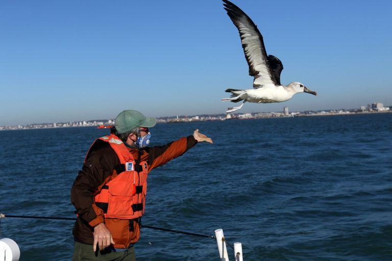 Mar del Plata. Rehabilitaron y liberaron a un albatros de pico fino