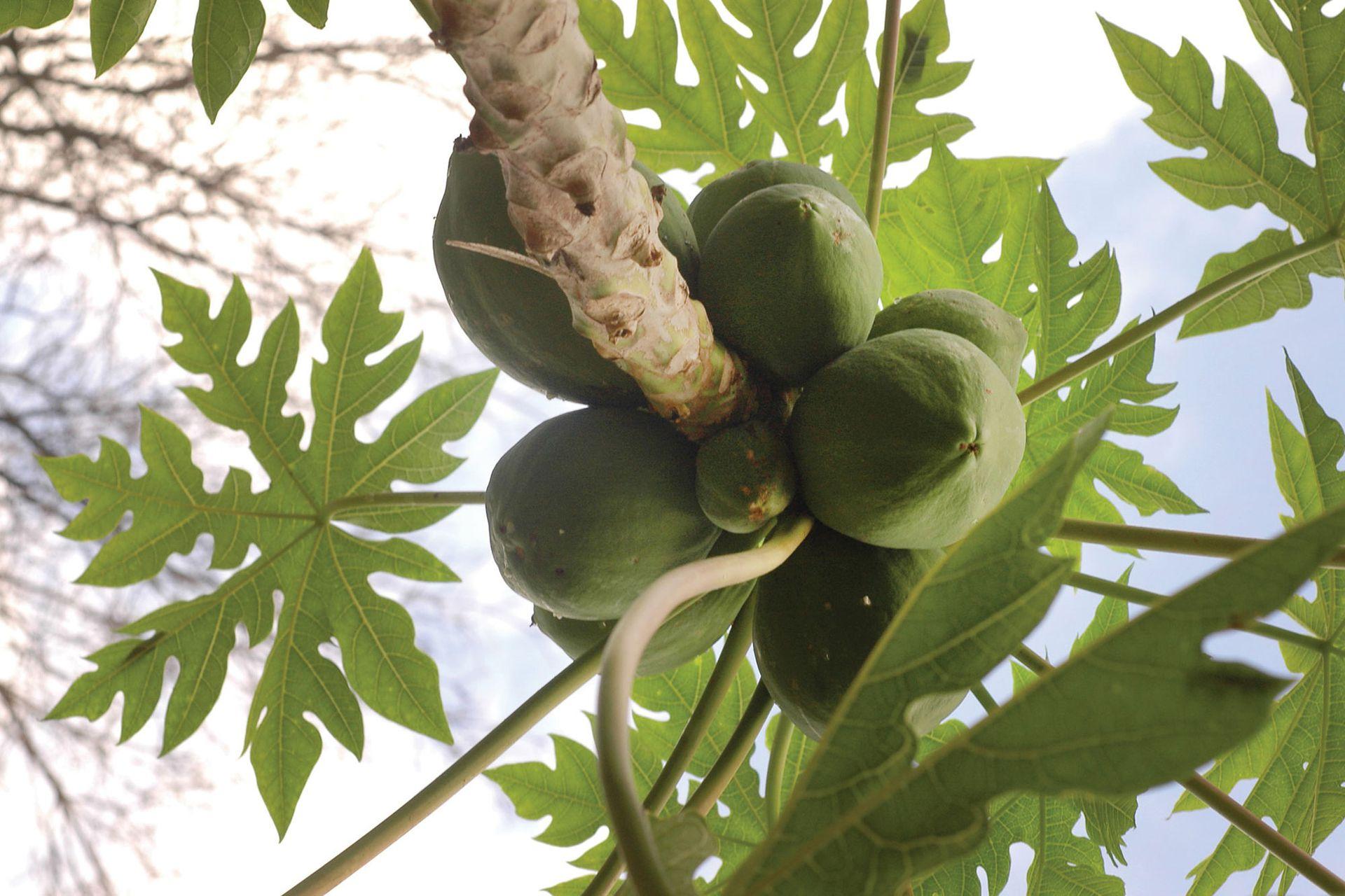 El mamón o papaya no es un frutal de aspecto común, todo lo contrario. Su silueta, sus hojas y la particularidad de los frutos arracimados sobre el tronco hacen que sea especialmente indicado para jardines de estética tropical.