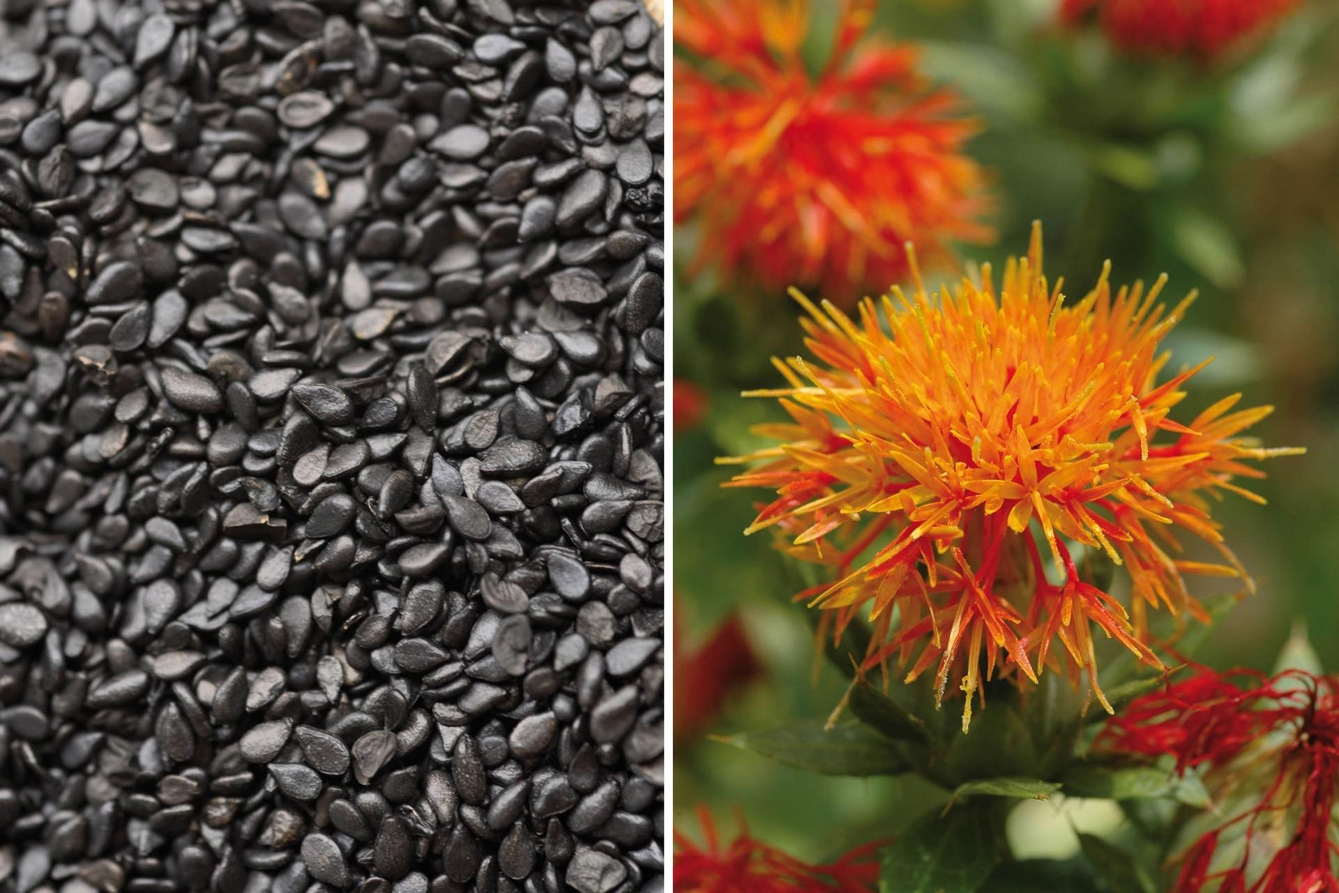 Izquierda: Semillas de sésamo negro; su aceite es muy valorado como alimento y también en medicinas alternativas. Derecha: El cártamo es además de oleaginosa una planta tintórea que tiñe con los colores de sus pétalos.