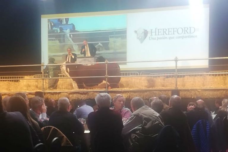Se vendió en $850.000 un toro Polled Hereford y la raza marcó buenos promedios