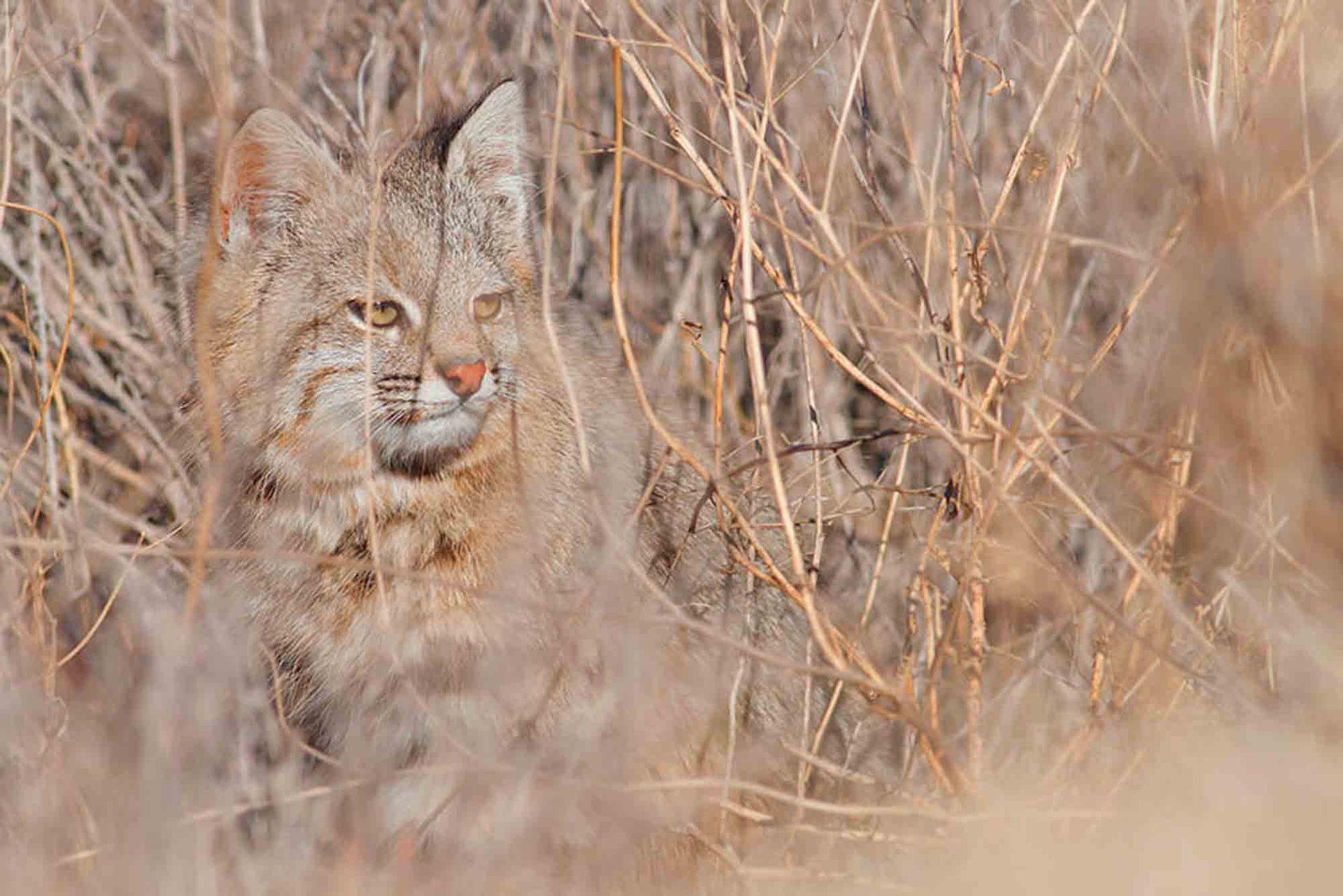 El Gato de Pajonal habita zonas con pastizales altos y matorrales secos que le permiten camuflarse.