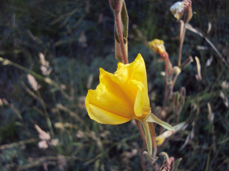 Las Oenothera odorata presentan flores que abren al atardecer y duran un solo día.