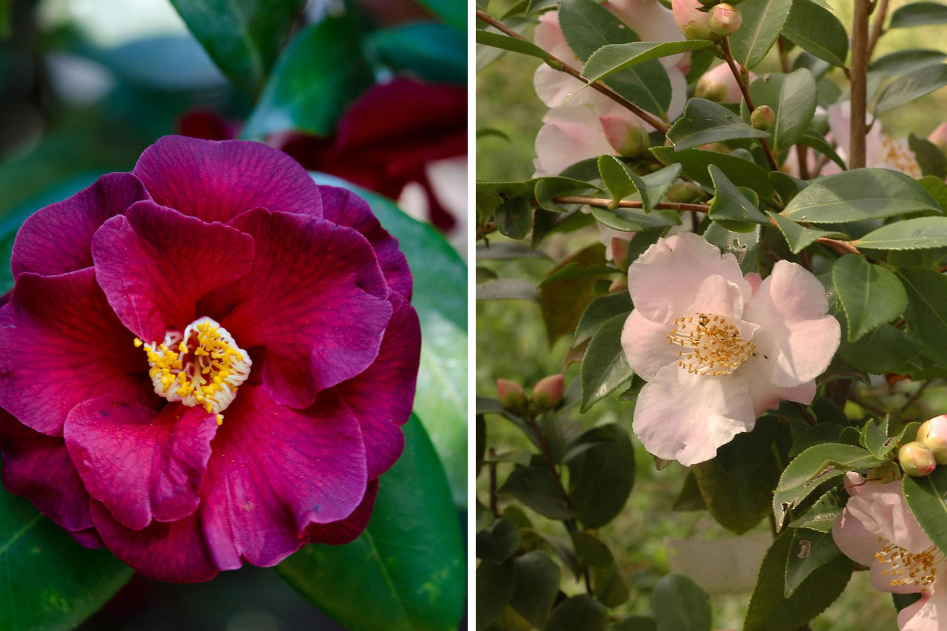 Camellia ´Sunrise´ (izquierda) y Camellia sasanqua (derecha).