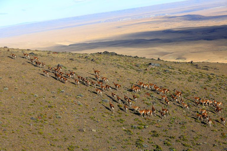 Los guanacos son parte de la fauna del Parque Nacional Patagonia