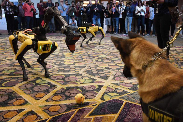 La versión del robot Spot con cuatro patas y equipado con un brazo adicional, frente a un perro de carne y hueso