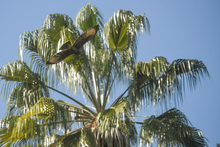 Los gavilanes mixtos, una de las aves rapaces que más aparecieron en los últimos días en la capital provincial.