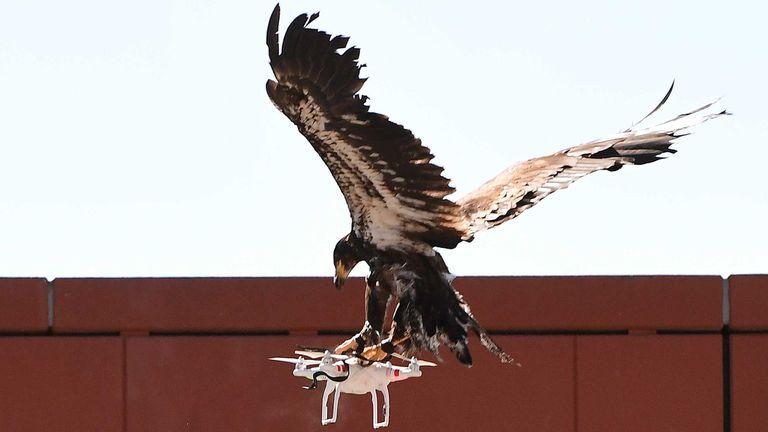 La policía holandesa está probando el uso de águilas para derribar drones en zonas no autorizadas