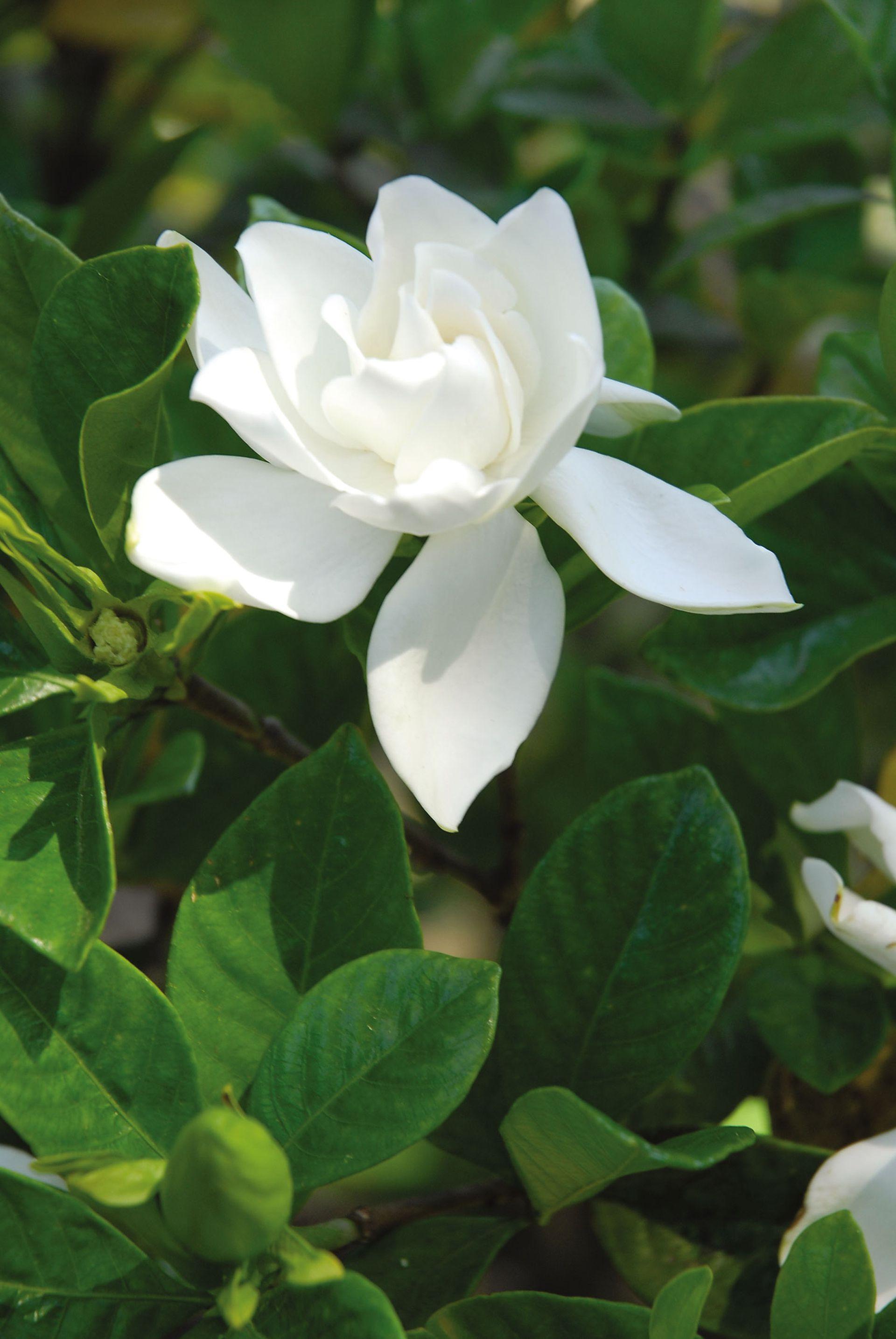 Jazmín del Cabo o gardenia. Es perfecta para jardines perfumados o que se disfrutan de noche. También se usa como  flor de corte.