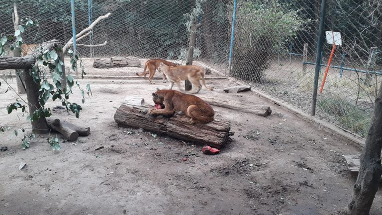 Uno de los pumas rescatados por el Complejo Ecológico de América, en el partido de Rivadavia, en el noroeste de la provincia de Buenos Aires