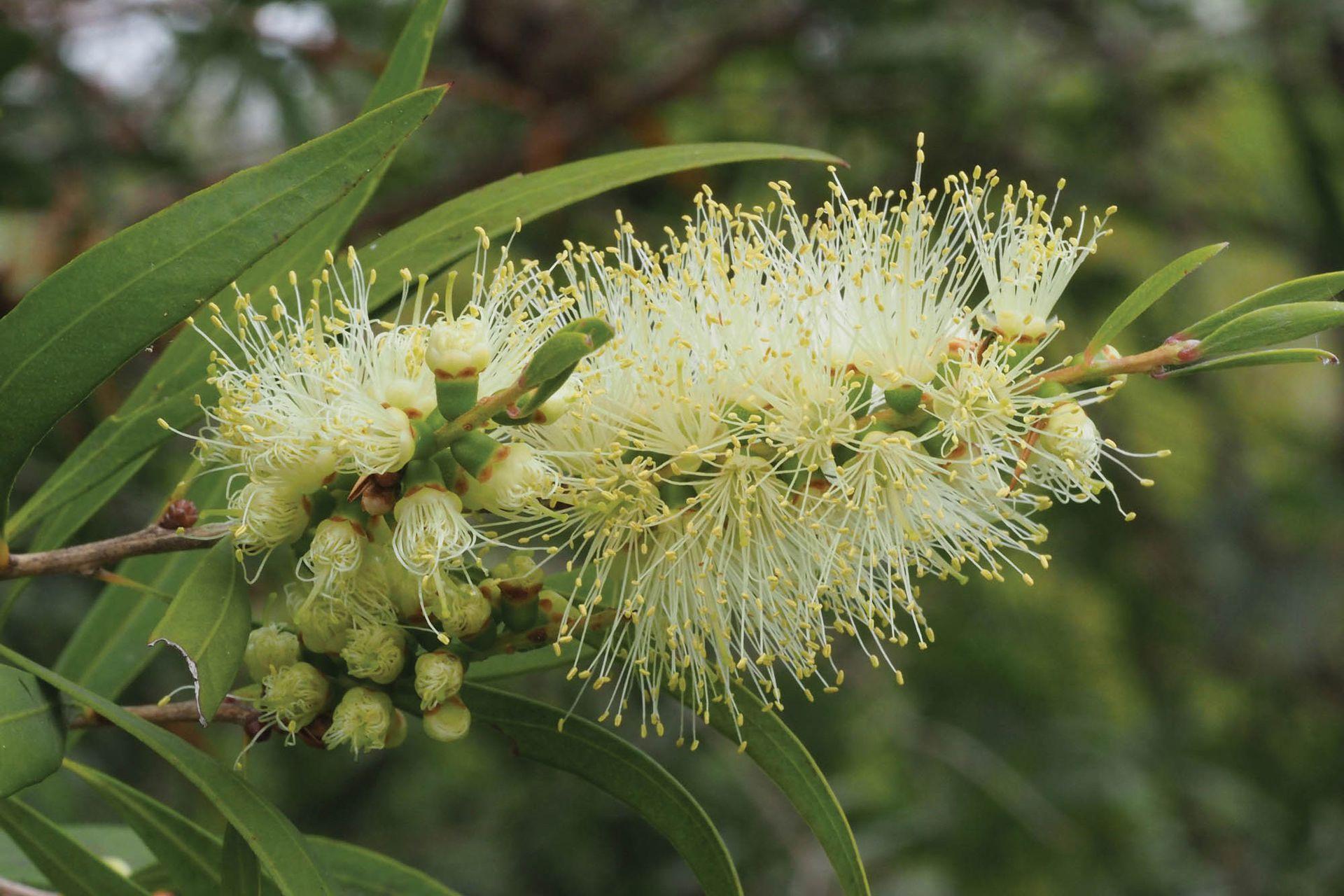Melaleuca armillaris, conocida como Melaleuca. Es un arbusto de follaje perenne que se mueve mansamente con el viento y lo resiste cuando crece fuertes en suelos adecuados. Combinan rusticidad y elegancia.