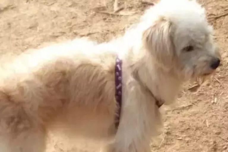 Un perro de siete años fue olvidado por accidente por sus dueños en una localidad china. Firme en la intención de regresar a su hogar, la mascota caminó durante casi un mes y finalmente logró la hazaña de encontrar la puerta a la que se dirigía