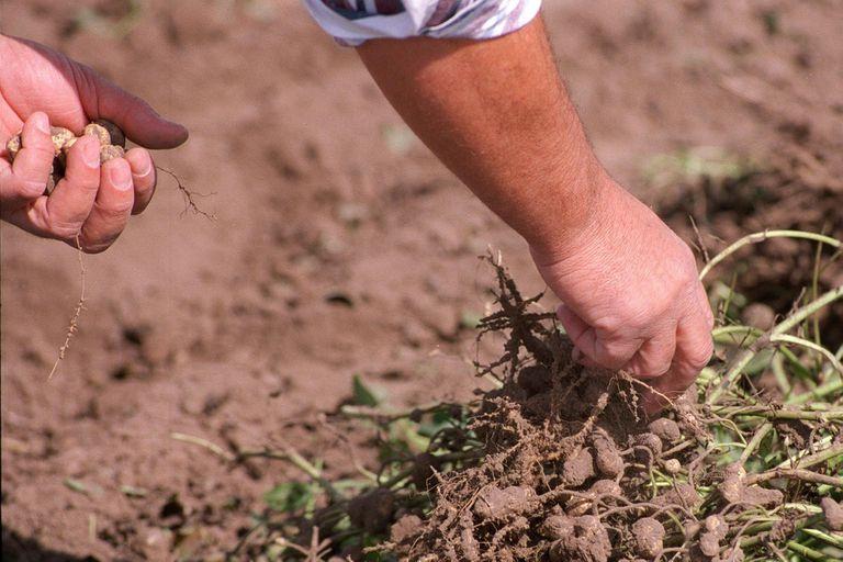 Maní. Las Buenas Prácticas Agrícolas evitan los problemas de erosión