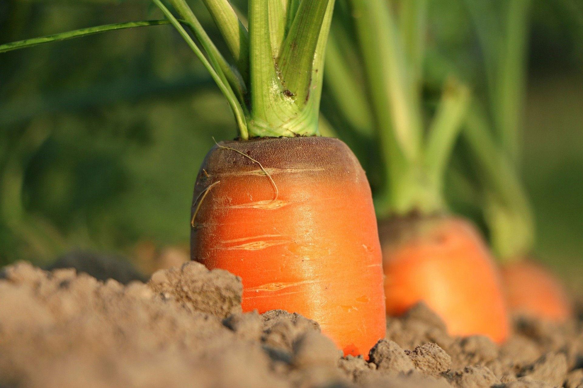 La zanahoria es una hortaliza bianual. Durante el primer ciclo, forma la raíz y las hojas, y en el segundo florece y semilla.