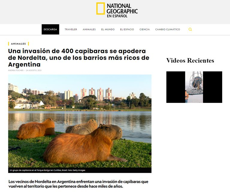 La nota de National Geographic sobre los carpinchos en Nordelta