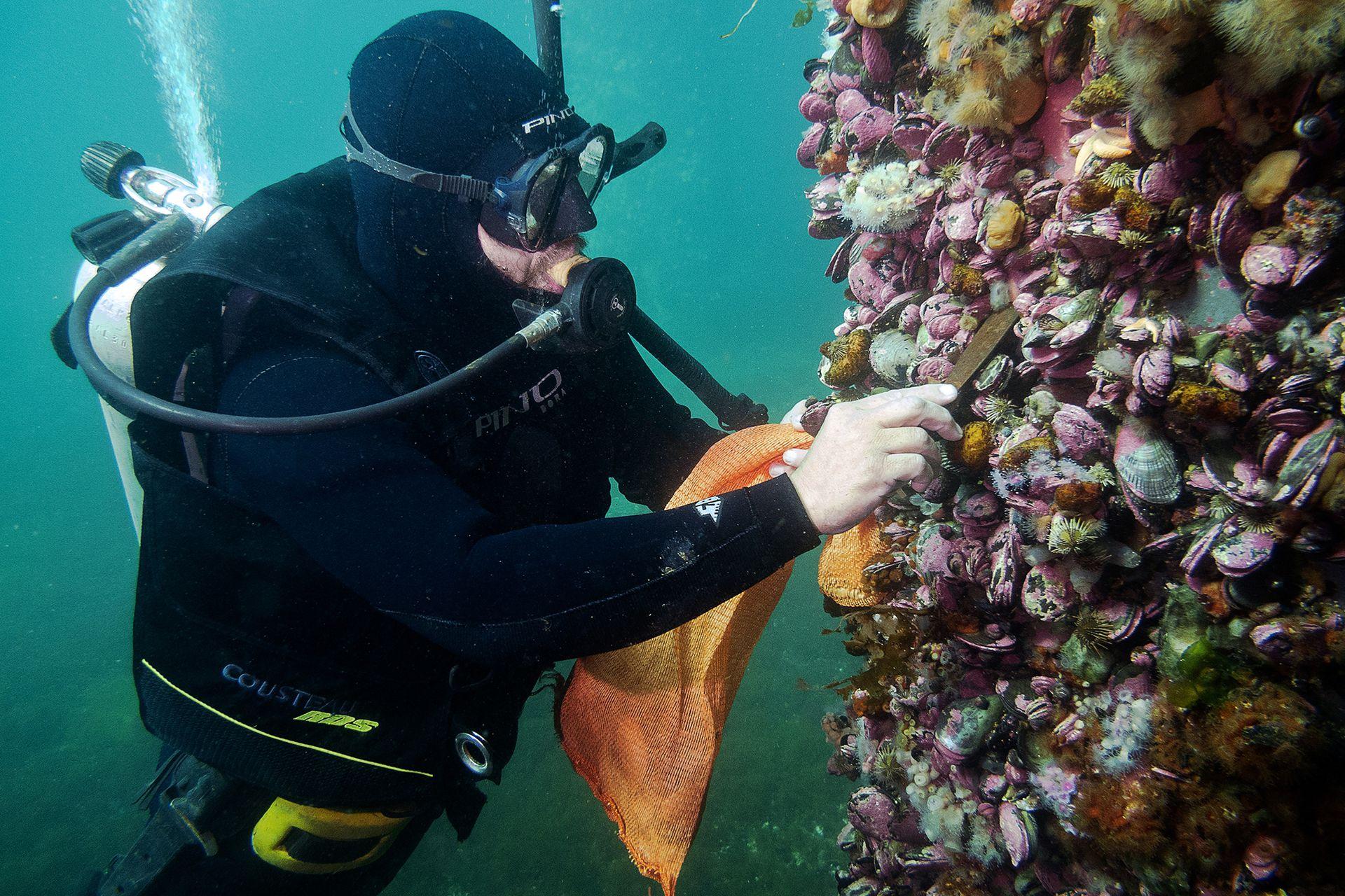 Buzo recolectando ostras en Puerto Madryn