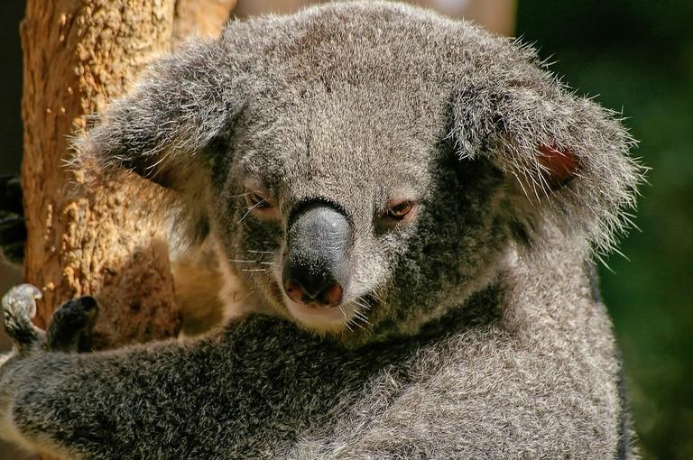 """Buscan crear """"súper koalas"""" ante el peligro de extinción de la especie"""