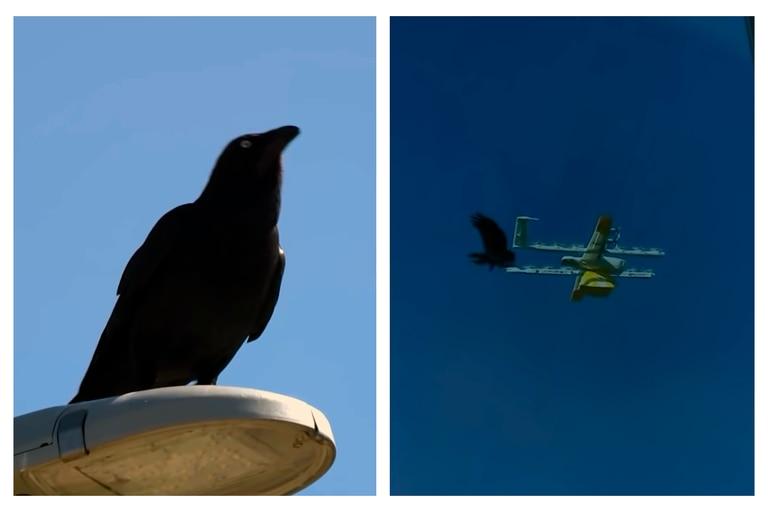 El momento en que un cuervo atacó a un drone que debía entregar un paquete