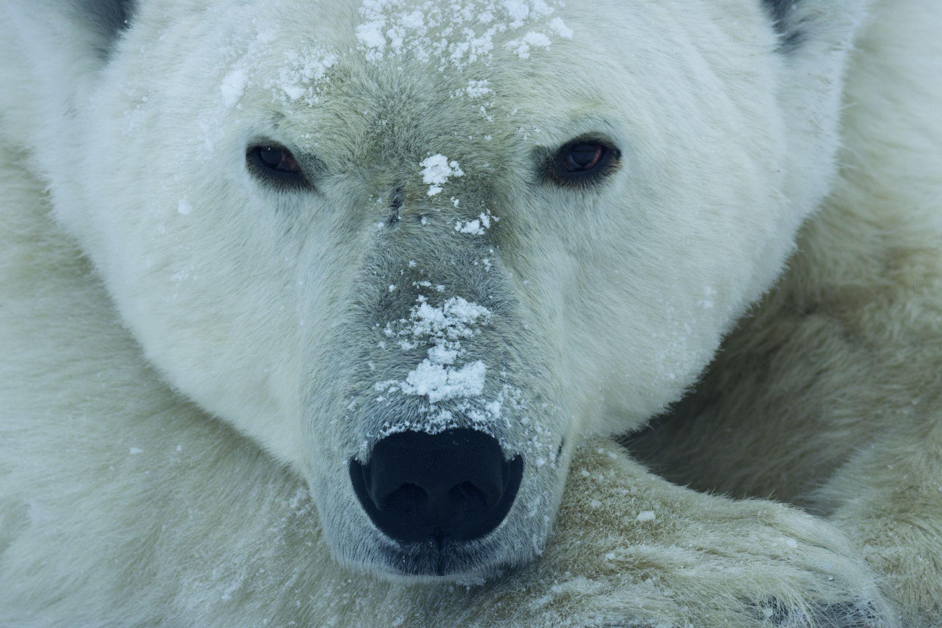 Un oso polar macho espera pacientemente que el hielo marino de la bahía Hudson se congele.
