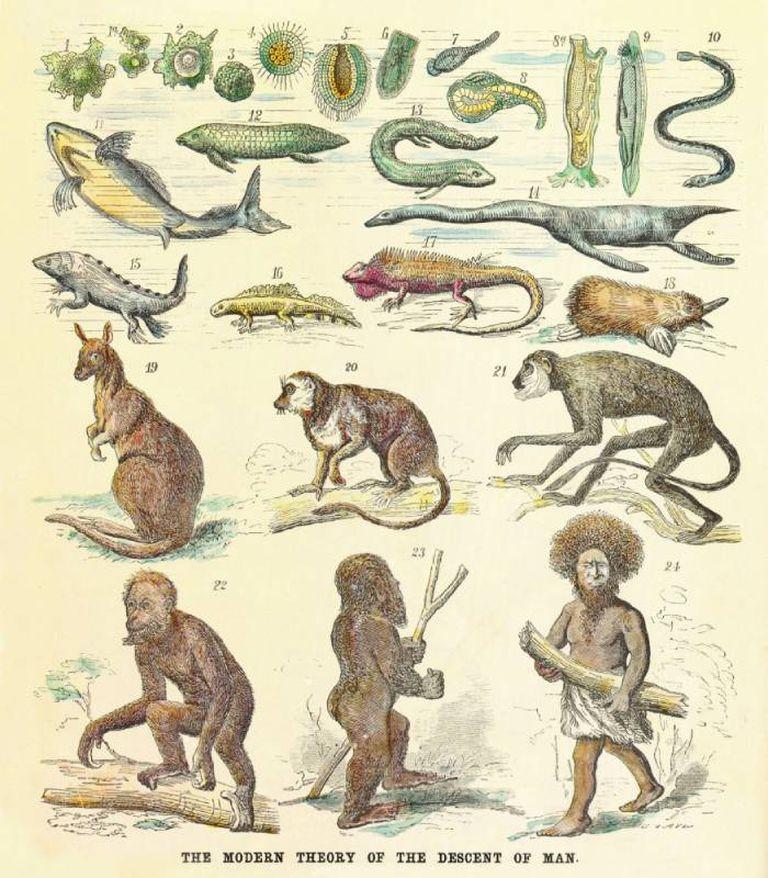 Ernst Haeckel sostenía, como lo ilustra esta imagen de 1874, que desde los organismos unicelulares hasta el hombre, la evolución constaba de 24 pasos y que en el paso 23, estaba el eslabón perdido