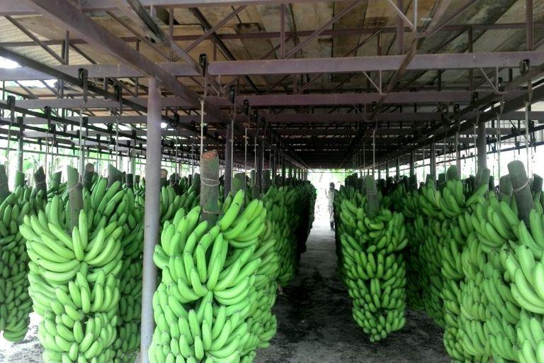 Una hectárea de banana en producción plena puede facturar $1,2 millones