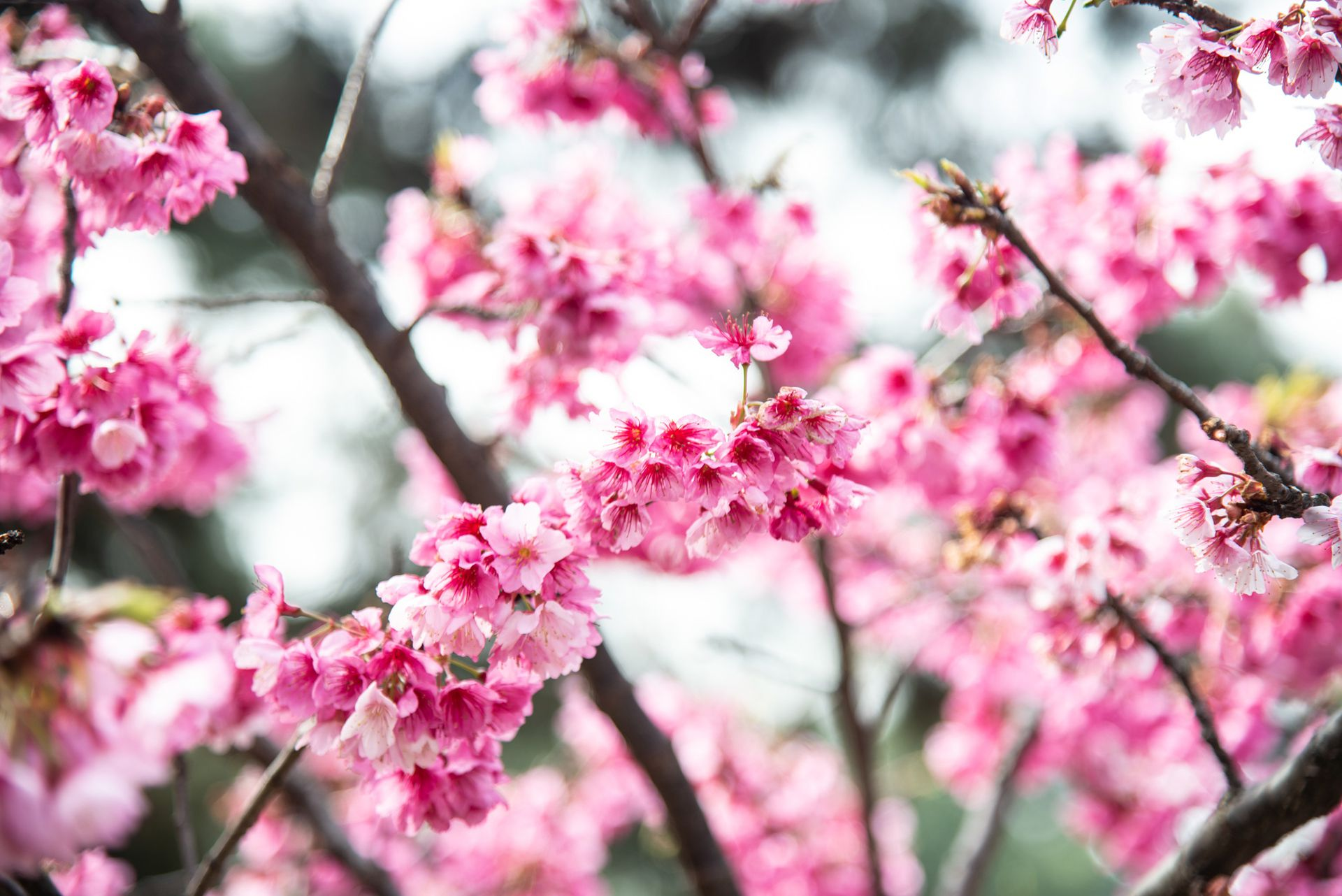 La flor del cerezo es la más representativa de Japón. Su llegada es un acontecimiento que se festeja colectivamente con la celebración del Hanami. Amigos, familia y compañeros de trabajo beben sake, cantan y bailan bajo los esplendorosos árboles. Esta costumbre es multitudinaria y ancestral, y data del siglo XVIII.