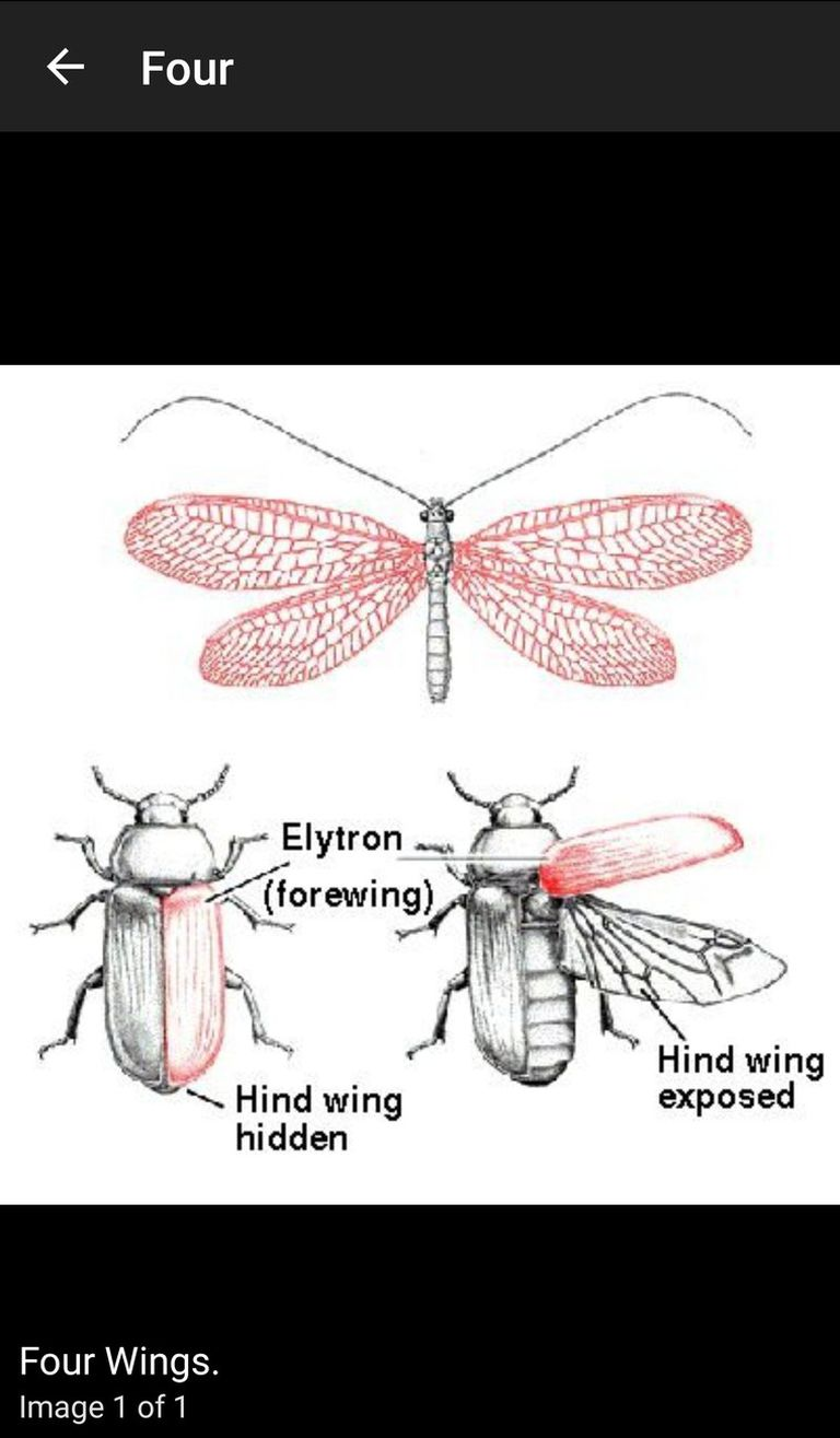 Key to Insect Orders